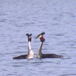 Southern Crested Grebes